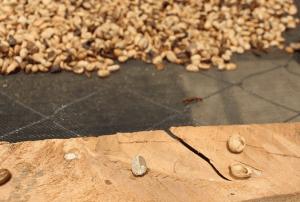 Quando é retirada e separada a casca dos grãos, ficam apenas duas bandinhas que são colocadas para secar na tela.